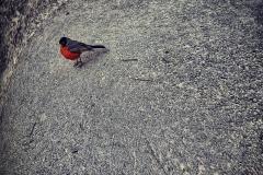 RedBird_SingleShot_MG_9492_1600