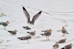 SeagullWingsOnASnowSIngleShot_MG_2356_warped_1600