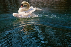 SwanOnALakeSingleShotProspectPark_MG_6136_1600