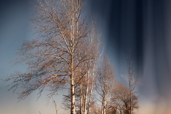 Birch Trees In Marine Park