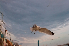 SeagullOnEmmonsInFlight_sigleShot_MG_1885_warped_1600
